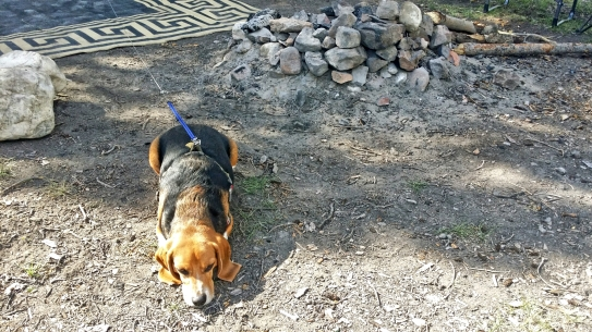 Bentley the Beagle