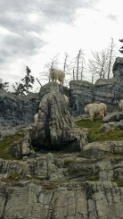 Rocky Mountain Goat, Canadian Wilds, Calgary Zoo