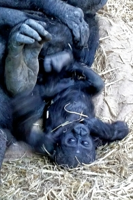 Kimani the baby Gorilla, Calgary Zoo
